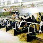 Haryana 50 Cows Dairy Yojana