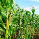 पंजाब कृषि ऋण माफी लिस्ट 2020   Punjab Krishi Fasal Rin Mafi Yojana