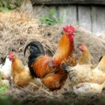 Application Form Himachal Him Kukut Palan Yojana | हिमाचल प्रदेश मुर्गी पालन योजना | हिम कुकुट पालन योजना एप्लीकेशन फॉर्म